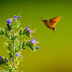 This hummingbird butterfly drinks nectar with his long tongue from a flower, France.