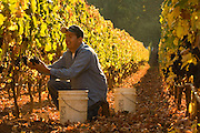 Ayoub vineyards harvest, Dundee Hills, Willamette Valley, Oregon