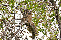 Great Horned Owlets In a tree alongside an old homestead home in Box Elder County in northern Utah on May 20th 2016 the dry farms in the area run up against the western desert a great habitat for the Owls.