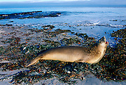 A young Southern Elephant Seal (Mirounga leonina) lying open-mouthed amongst the seaweed on the shores of Sea Lion Island, Falkland Islands, South Atlantic.
