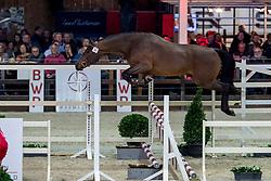 031, Rex Regnat Van't Huka<br /> BWP Hengstenkeuring -  Lier 2020<br /> © Hippo Foto - Dirk Caremans<br />  17/01/2020
