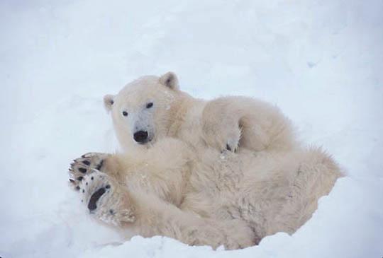 Polar Bear, (Ursus maritimus) Resting in day bed. Churchill, Manitoba. Canada.