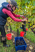 Seasonal workers from Romania start picking the Pinot Noir grapes at the Redfold Vineyard which produces English Sparkling wine in East Sussex.