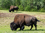 Wood Bison, a threatened species in Canada, graze along the Alaska Highway near Liard Hot Springs, in British Columbia.