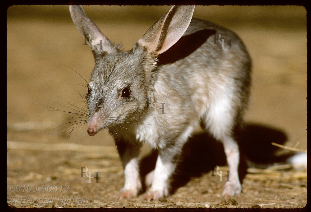 Rabbit-eared bandicoot, or bilby, pauses nearby in its pen at the Conservation Commssn of NT/Alice Australia