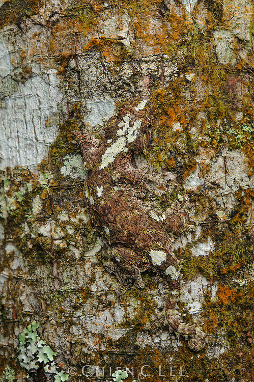 The superbly camouflaged Kinabalu Gliding Gecko (Ptychozoon rhacophorus) is endemic to the montane forests of Mount Kinabalu in northern Borneo.  This poorly-known species is a nocturnal insectivorous tree-dweller and, like other geckos of this genus, possesses skin flaps to assist in a parachuting flight. Sabah, Malaysia.