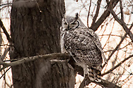 A great-horned owl waits for better hunting conditions in Audubon Wildlife Refuge on Wednesday, Feb. 14, 2018.