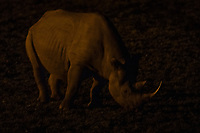 Black rhino feeding on forbes at night, Addo Elephant National Park, Eastern Cape, South Africa
