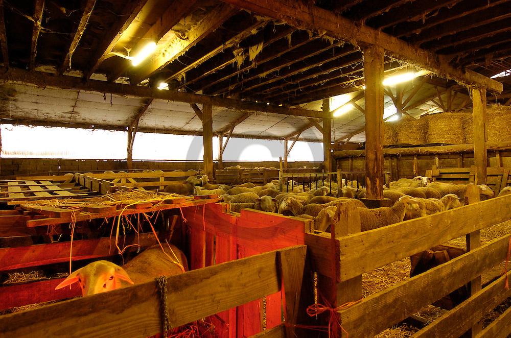 23/12/04 - ARLANC - PUY DE DOME - FRANCE - Filiere ovine race BMC au GAEC Force. Lumiere Infra rouge pour proteger un agnelet - Photo Jerome CHABANNE