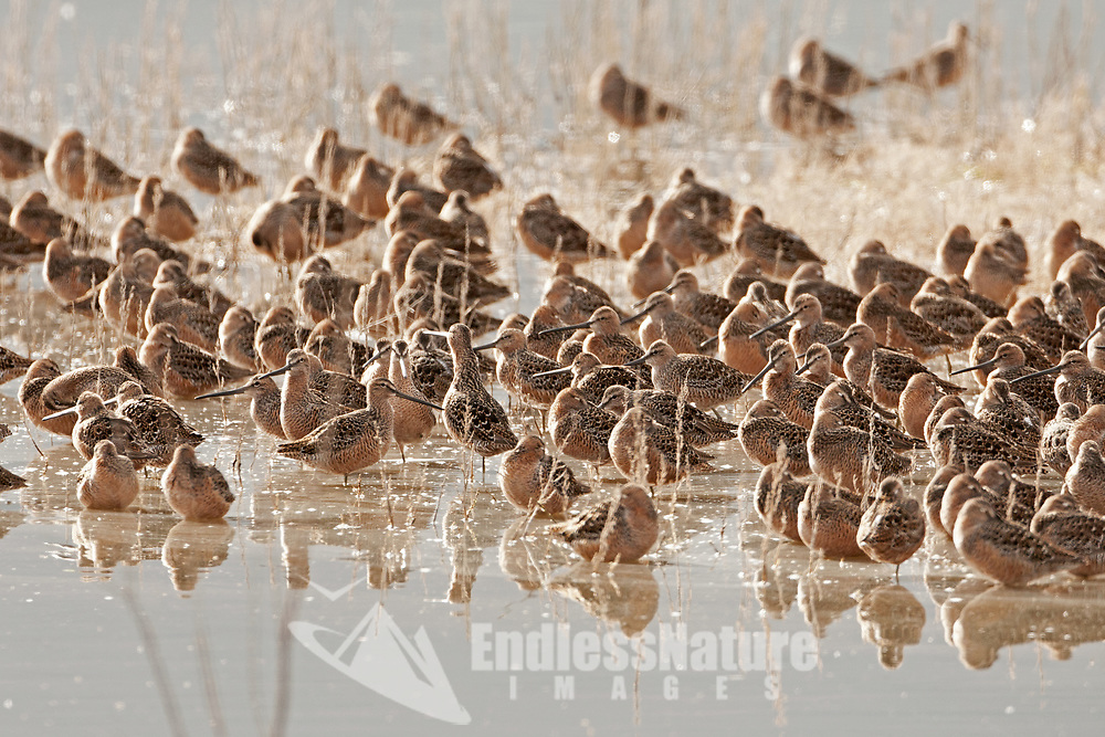 Long Billed Dowitchers gather to rest northern Utah is a resting place on the way to their summer grounds north.
