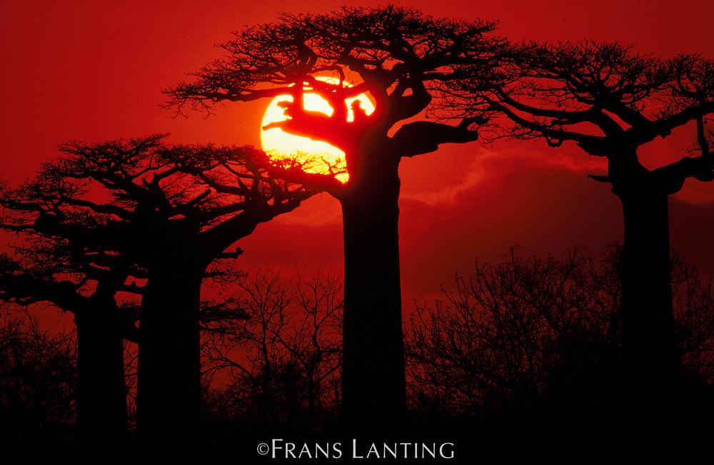 Baobabs at sunset, Adansonia grandidieri, Western Madagascar