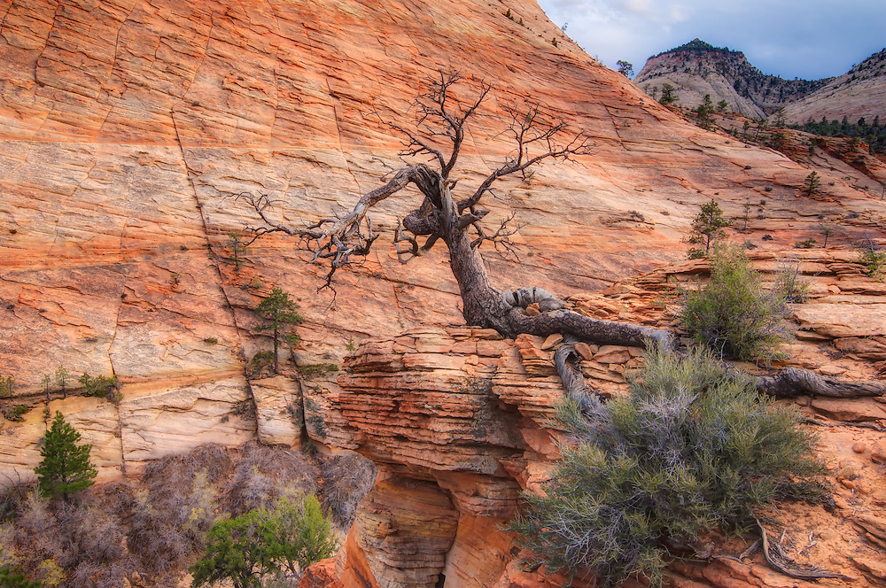 An old, twisted pinyon tree grows atop the windy rocks at the top of a huge rock formation in a nameless canyon in southwestern Utah. It's amazing how the roots of these tenacious pines hold the rock with an iron grip as they endure summer's blistering heat, winter's bitterly unforgiving cold, and near constant wind decade after decade.