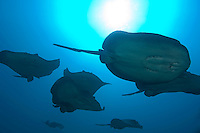 Male Marble Rays school in search of a mate.