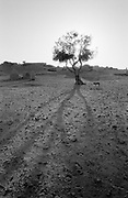 Long shadow of tree with dog in desert oasis