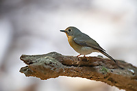 The (female) hill blue flycatcher (Cyornis whitei) is a species of bird in the family Muscicapidae. It is found in southern China and Southeast Asia.