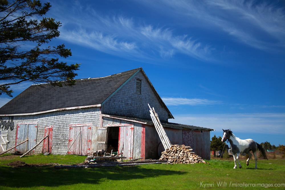 Canada, Nova Scotia, Guysborough County. Weathered barn and horse and of Nova Scotia.