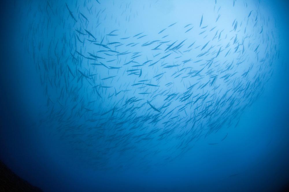 School of striped barracuda, Sphyraena viridensis .Faial, Azores, Portugal