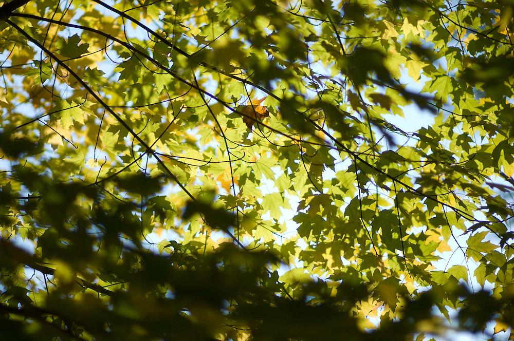 Autumn leaves Arley Arboretum, Worcestershire.