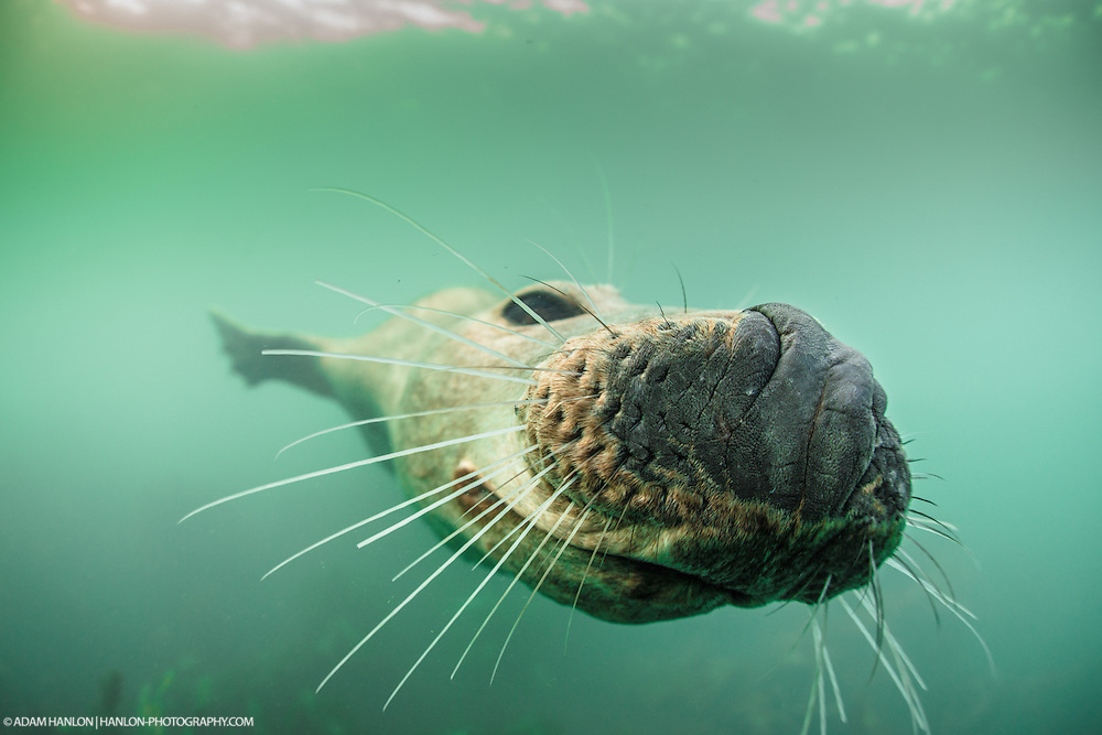 Harbor seal (Phoca vitaluna) presses its nose onto the photographer's camera. Farne Islands, Northumberland, UK.