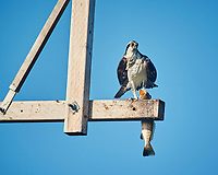 Osprey with a big fish for breakfast at Fort De Soto park. Image taken with a Nikon One V3 camera and 70-300 mm VR lens (ISO 200, 300 mm, f/5.6, 1/640 sec).