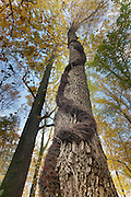Poison Ivy vine; Toxicodendron radicans; PA, Philadelphia, Schuylkill Center