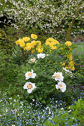 Paeonia suffruticosa subsp. rockii syn. P. 'Joseph Rock', 'Rock's Variety' with azalea and forget-me-nots