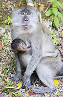 Adult female Long-tailed Macaque with suckling infant, Malaysia