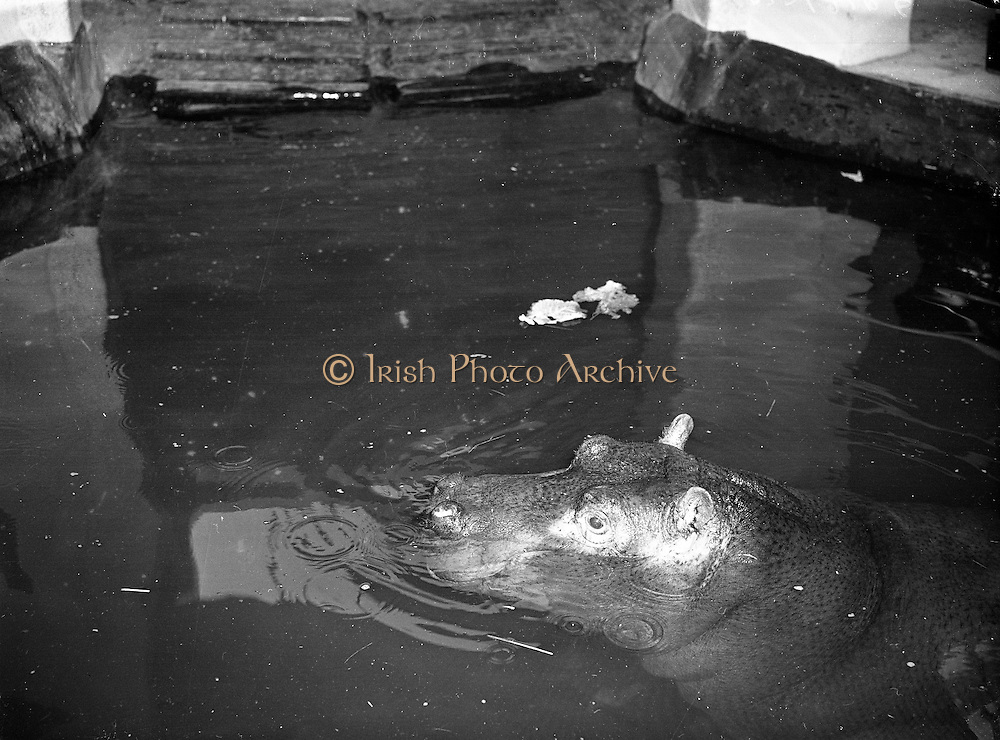 Gilbert the Hippopotamus arrives at Dublin Zoo .28/03/1958