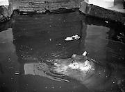 Gilbert the Hippopotamus arrives at Dublin Zoo .28/03/1958