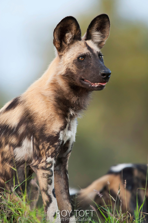 An African wild hunting dog stands alert, Botswana, Africa