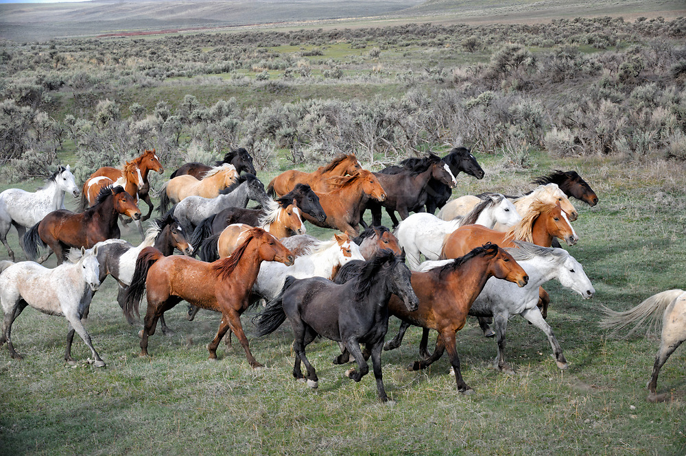 Horse herd going by at a full run in the Colorado sagebrush country.