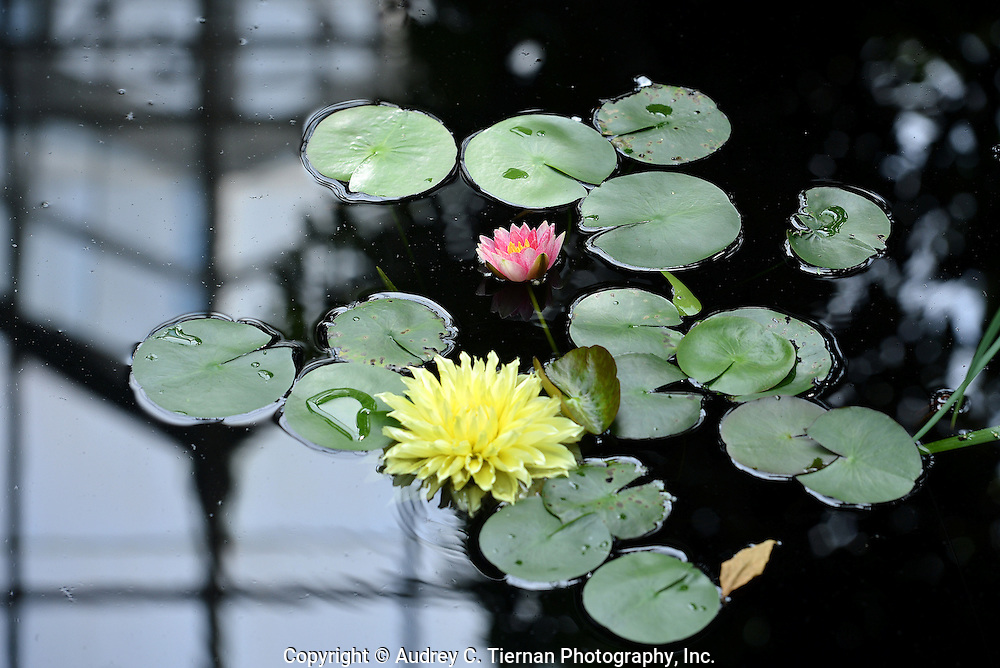 New York, NY:  Friday, September  15, 2012--  A water lily at the Enid A. Haupt Conservatory of the New York Botanical Garden. This was part of the Monet in Giverny exhibit.  The conservatory is reflected in the pond. ©Audrey C. Tiernan