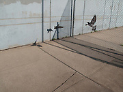 Pigeons taking flight from a sidewalk near the Jacob Javits Center in Midtown Manhattan.  A concrete wall and fence block their escape.