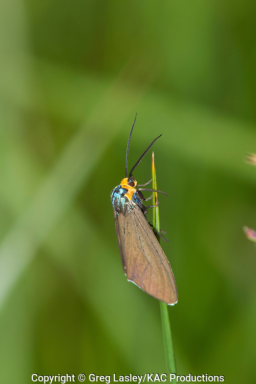 Virginia Ctenucha Moth.Ctenucha virginica.Buzzard Swamp,.Allegheny National Forest,.near Marienville,.Forest Co., Pennsylvania.15 June 2010