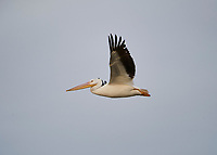 American White Pelican (Pelecanus erythrorhynchos) flying above Lake Chapala, Jocotopec, Jalisco, Mexico