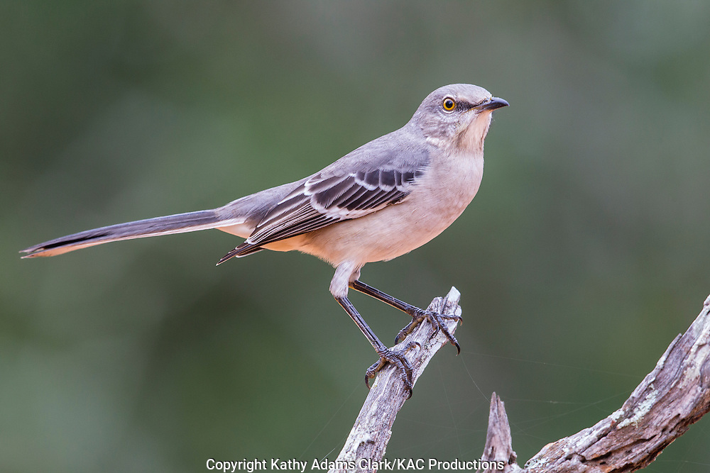 Northern mockingbird, Mimus polyglottos, San Jose Ranch, near Laredo, Texas.