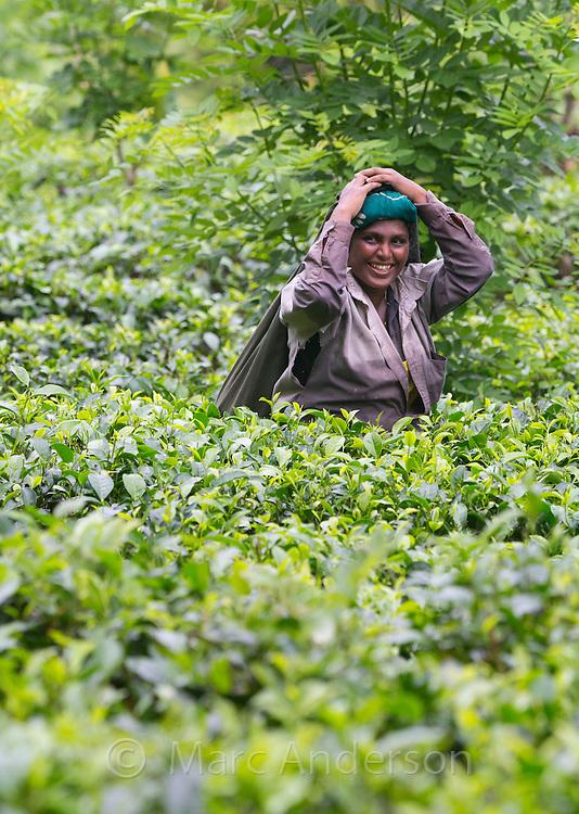 Smiling woman picking tea in a tea plantation, Sri Lanka