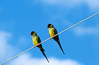 Pair of Parakeets on a Wire at Ft. De Soto Park, St. Petersburg Florida. Image taken with a Nikon D3x camera and 300 mm f/2.8 lens (ISO 200, 300 mm, f/8, 1/250 sec)