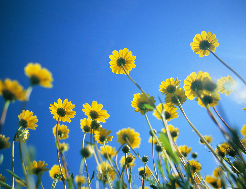 Oxalis pes-caprae yellow flowers, Spain
