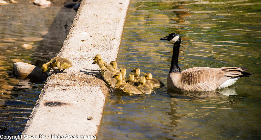 Canada goose mother leading her newborn chick goslings over a water barrier in Idaho lake