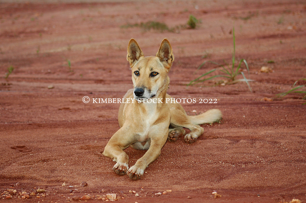 Honey, a pure-bred young dingo at Mt Hart.