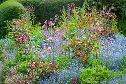 Spring border at Eastgrove Cottage with forget-me-nots and aquilegias - Columbines
