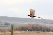 Rooster Pheasant in Flight