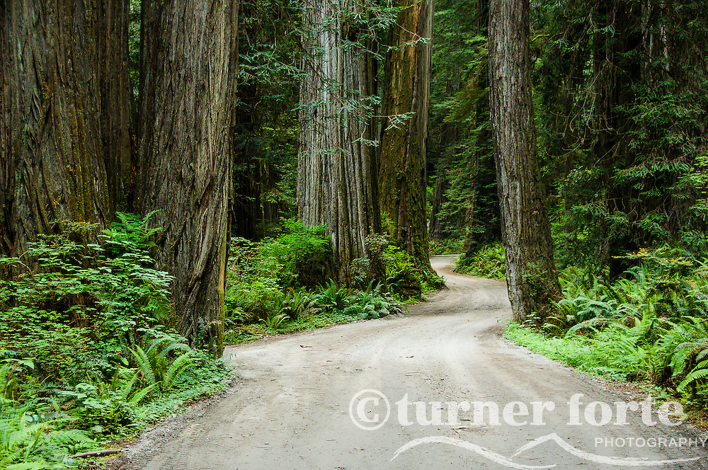 Howland Hill Road winds through old growth trees, Jedediah Smith Redwoods State Park, Redwood National Park, California.