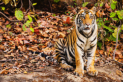 Bengal tiger (Panthera tigris tigris) in the wild sitting on rock in jungle , April, dry season;