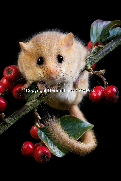 COMMON DORMOUSE muscardinus avellanarius, ADULT STANDING ON BRANCH WITH BERRIES, NORMANDY IN FRANCE