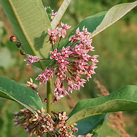 Common Milkweed flowers, a native perennial that is an important habitat plant for Monarch butterflies (Asclepias syriaca)