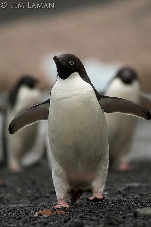 Adelie Penguin (Pygoscelis adeliae) on Devil Island.