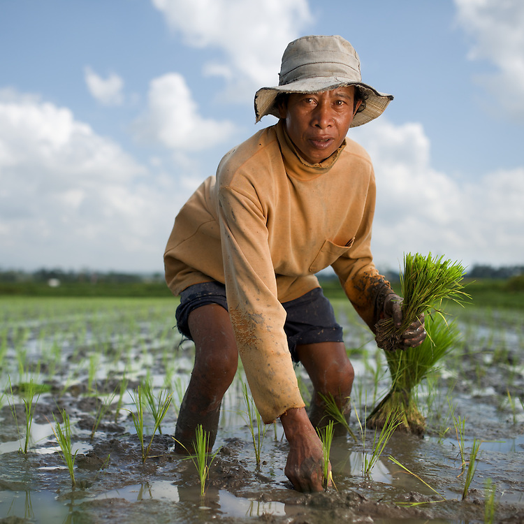 Planting rice in Bali, amid the flooded rice paddy where the rice is pulled from a bundle and stuck into the mud. Seen here is Pak Kompiang.