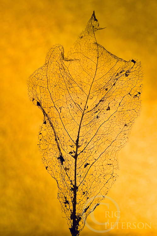 deacying leaf showing the veins and structure of leaf pattern